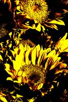 Sunflowers: Yellow Black 0290