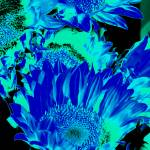 """Sunflowers: Cyan Blue Black 0290"" by vicki-pix"