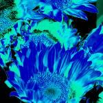 """Sunflowers: Cyan Blue Black 0290"" by vicki-pix"