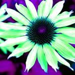 """Psychedelic Echinacia"" by SteveWalton"