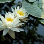"""White Water Lilies"" by louisdallara"