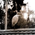 """the heron"" by Phoen"