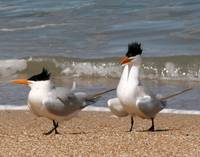 Royal Terns Out For A Stroll