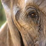 """African Elephant"" by ScottAnderson"