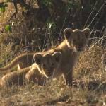 """""""lion cubs 4"""" by DezineZone"""