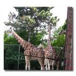 """Giraffe"