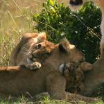 """""""lion cubs 5"""" by DezineZone"""