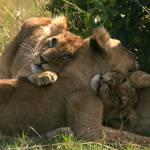 """""""lion cubs 6"""" by DezineZone"""