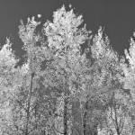 """""""Aspen Trees, Monochrome"""" by rjev"""