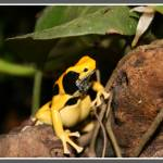 """Poison Dart Frog (Dendrobates Tinctorius)"" by LeeHancock"