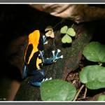 """Poison Dart Frog (Dendrobates Tinctorius Surinam C"" by LeeHancock"