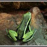 """Poison Dart Frog (Epipedobates trivittatus)"" by LeeHancock"