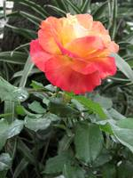 A Perfect Rose Flower in the Obrera