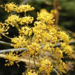 """gold cow parsley"" by chuietta"