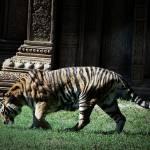 """""""we tigers"""" by colekins"""