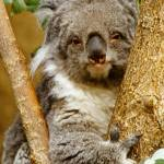 """Koala Animal"" by kphotos"