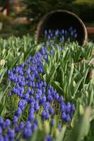 Grape Hyacinth Spill