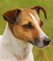 Beautiful Lady the JRT