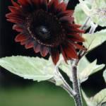 """Rudbeckia Sonora a"" by knotaway"
