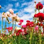 """Pink Ranunculus-1"" by susankeller"