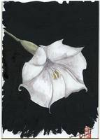 Arlene's Moonflower