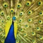 """Peacock"" by LawnoveN"