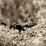 """Wasp Gathering Nectar"" by LawnoveN"