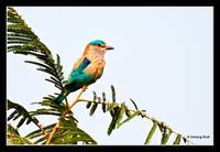 Blue Jay - Indian Roller