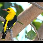 """Golden oriole"" by umang"