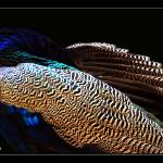 """Indian Peafowl"" by umang"