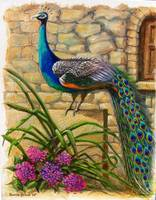 Peacock at Evangelistra