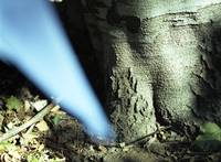 Blue Ray Tree Trunk