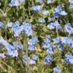 """""""blue wild flowers"""" by chuietta"""
