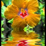 """Reflections - Hibiscus"" by MikeMycekPhotography"