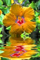 Reflections - Hibiscus