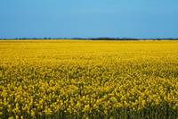 Sea of Rape Seed in Lincolnshire