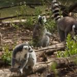 """""""Lemurs"""" by eolin"""