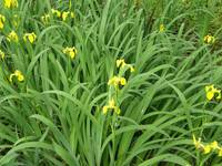 Yellow flowers on long green stems