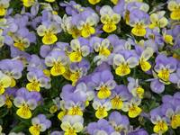 Sea of Violas