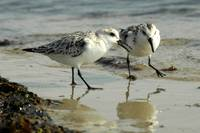 Sanderlings, Plum Island, MA