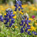 """Bluebonnets at Goliad - Digital Watercolor"" by LindaWolff"