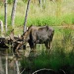 """Bull Moose"" by Photomac"