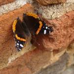 """""""Red Admiral"""" by ashlie_conway"""