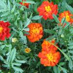 """Marigold Cluster"" by LoraineEnglish"