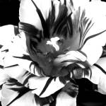 """Black and White Flower"" by photosbycal"