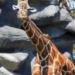 """""""Giraffe"""" by cfoxtrot"""