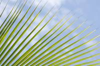 Palm Tree Fronds