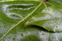 Fatsia Leaves After Rain