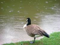 Looking Through the Rain, Canadian Goose
