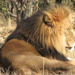 """The majestic king of the jungle"" by seema"